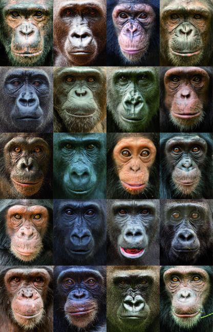 Apes Faces
